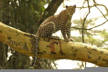 Leopard up a tree Nakuru